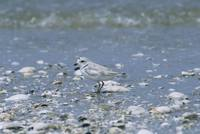 Charadrius melodus - Piping Plover