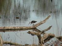Threskiornis spinicollis - Straw-necked Ibis