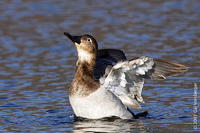 Image of: Aythya valisineria (canvasback)