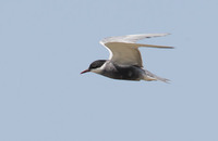 Whiskered Tern (Chlidonias hybridus) photo