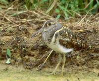Greater Painted Snipe (Rostratula benghalensis) photo