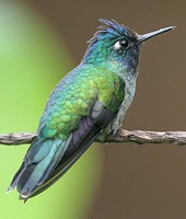 Violet-headed Hummingbird - Klais guimeti