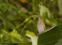 Streaky-breasted Spiderhunter - Arachnothera affinis