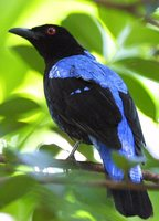 Asian Fairy-bluebird - Irena puella