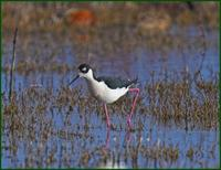 Black-necked stilt at Bosque del Apache NWR in NM