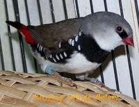 Normal Diamond Firetail