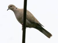 Eurasian Collared-Dove. Photo by Greg Gillson