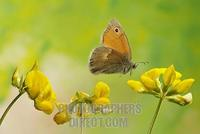 Small heath ( Coenonympha pamphilus ) stock photo