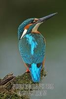 European Kingfisher Common Kingfisher Alcedo atthis stock photo
