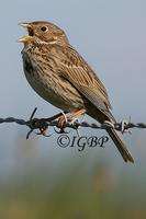 Corn Bunting and Skylark at Moortown, near Crudgington (Ian Butler) 2005
