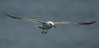 괭이갈매기(Larus crassirostris) (Black-tailed Gull)