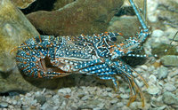 : Panulirus guttatus; Spotted Spiny Lobster