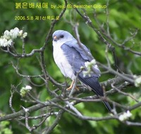 붉은배새매Chinese Sparrowhawk