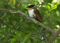 The Chestnut-winged Cuckoo (Clamator coromandus)