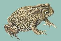 Image of: Bufo houstonensis (Houston toad)