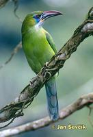 Aulacorhynchus sulcatus - Groove-billed Toucanet