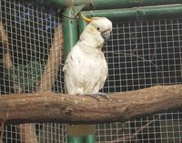 Cacatua sulphurea - Yellow-crested Cockatoo