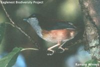 Black-headed Shrike Babbler - Pteruthius rufiventer