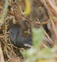 Black Rail (Laterallus jamaicensis) photo