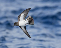 White-bellied Storm-Petrel (Fregetta grallaria) photo