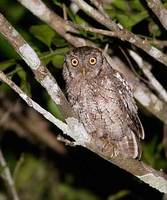 Tropical Screech-Owl (Otus choliba) photo