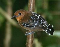 Scale-backed antbird (female)