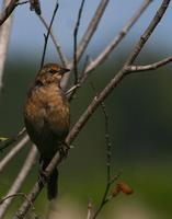 Rusty Blackbird   Female