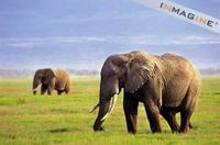 African Elephants (Loxodonta africana) photo