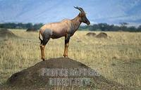 ...Topi , Damaliscus lunatus jimela , looking over the grassland plains from a termite mound , Maas