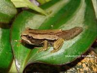 : Gastrotheca dunni; Dunn's Marsupial Frog