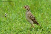 Richard's Pipit Scientific name - Anthus novaeseelandiae