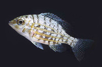 Lethrinus ornatus, Ornate emperor: fisheries