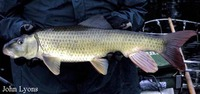 Moxostoma carinatum, River redhorse: gamefish