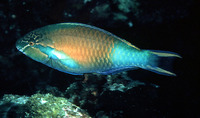 Scarus hypselopterus, Yellow-tail parrotfish: fisheries, aquarium