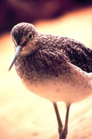 Limnodromus griseus - Short-billed Dowitcher