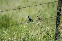 Image of: Passerina caerulea (blue grosbeak)