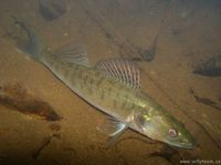 Sander lucioperca - European Pike-perch
