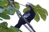 Red-throated Piping-Guan - Pipile cujubi