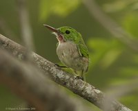 Broad-billed Tody - Todus subulatus