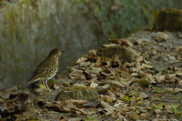 Long-tailed Thrush - Zoothera dixoni