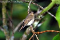 Eyebrowed Jungle-Flycatcher - Rhinomyias gularis