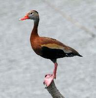 Black-bellied Whistling Duck (photo by Howard Eskin)