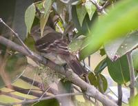 Rufous-crowned elaenia building nest