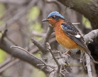 White-throated rock thrush C20D 03744.jpg