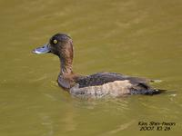 검은머리흰죽지(Aythya marila)  (Greater Scaup)