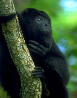 photograph of black howler monkey in a tree