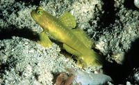 Cryptocentrus cinctus, Yellow prawn-goby: aquarium