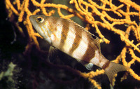 Serranus hepatus, Brown comber: fisheries, aquarium