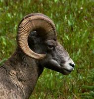 Image of: Ovis canadensis (bighorn sheep)