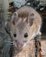 Image of: Peromyscus leucopus (white-footed mouse)